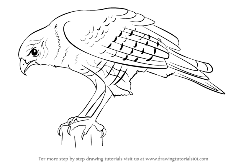 learn how to draw a hawk bird of prey step by step drawing tutorials