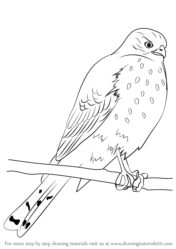 learn how to draw a sharp shinned hawk bird of prey step by step drawing tutorials