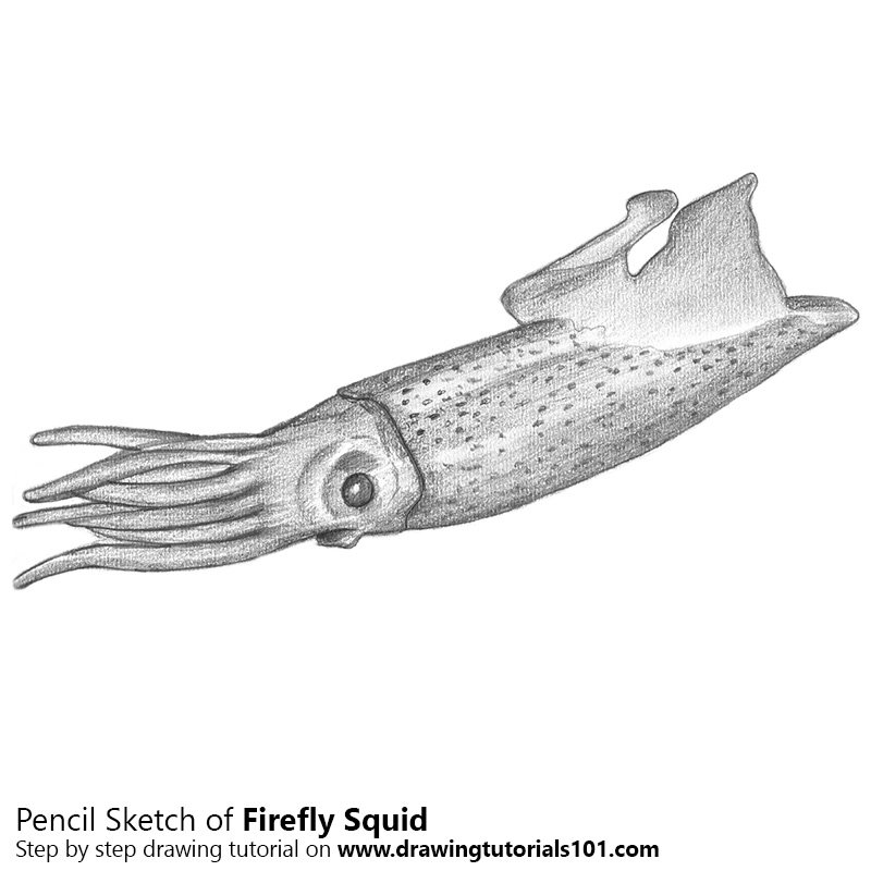 Firefly Squid Coloring Page. illuminated firefly squid japan stock ...