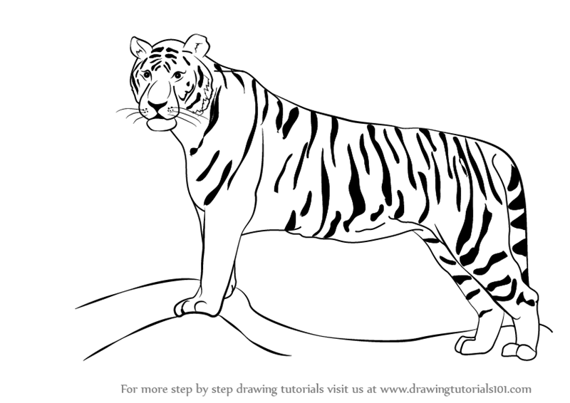 Learn how to draw a tiger zoo animals step by step drawing tutorials