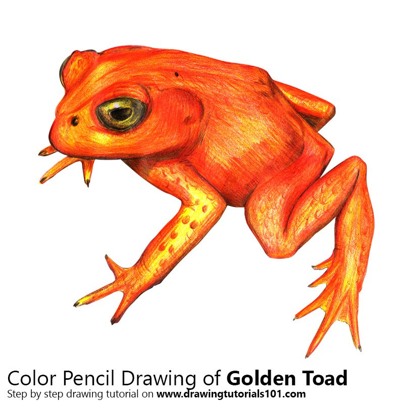 golden toad colored pencils drawing golden toad with color pencils