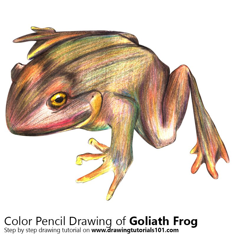 Goliath Frog Color Pencil Drawing