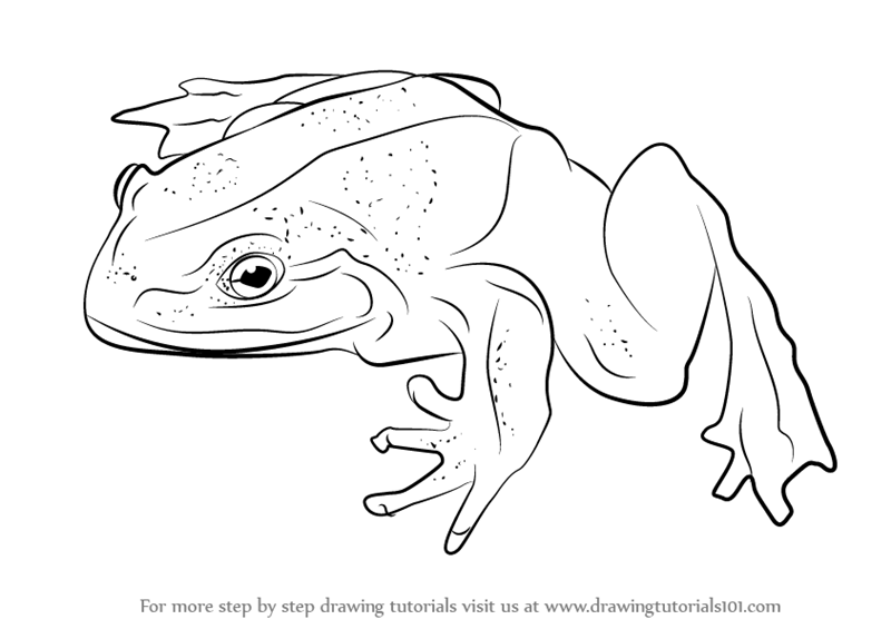 Learn How To Draw A Goliath Frog Amphibians Step By Step