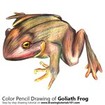 How to Draw a Goliath Frog