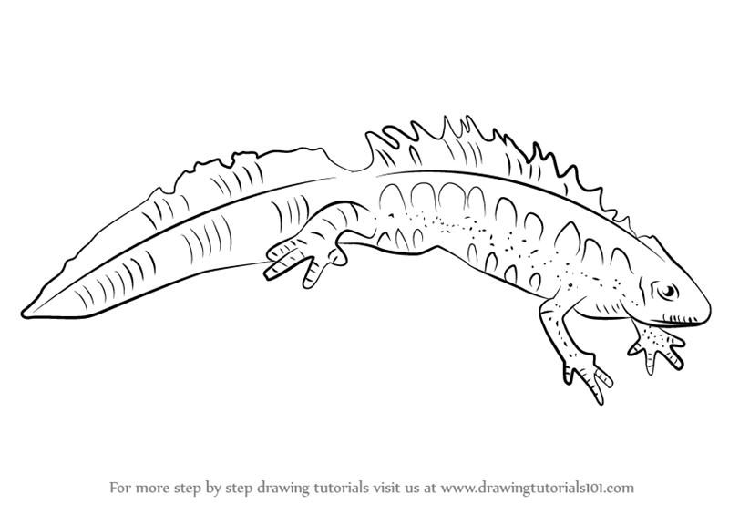 Step by step how to draw a great crested newt for Newt coloring page