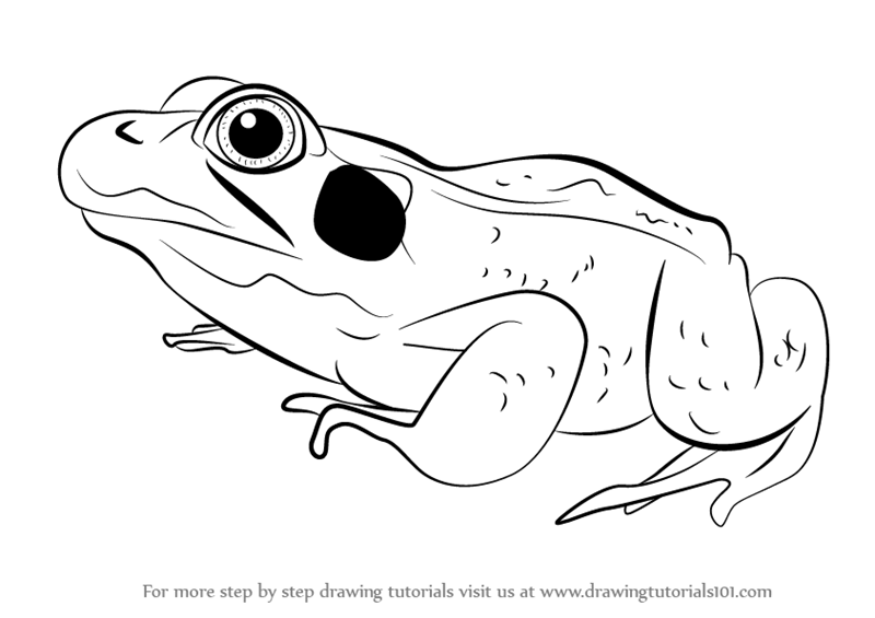 Learn How to Draw a Green Frog (Amphibians) Step by Step ...