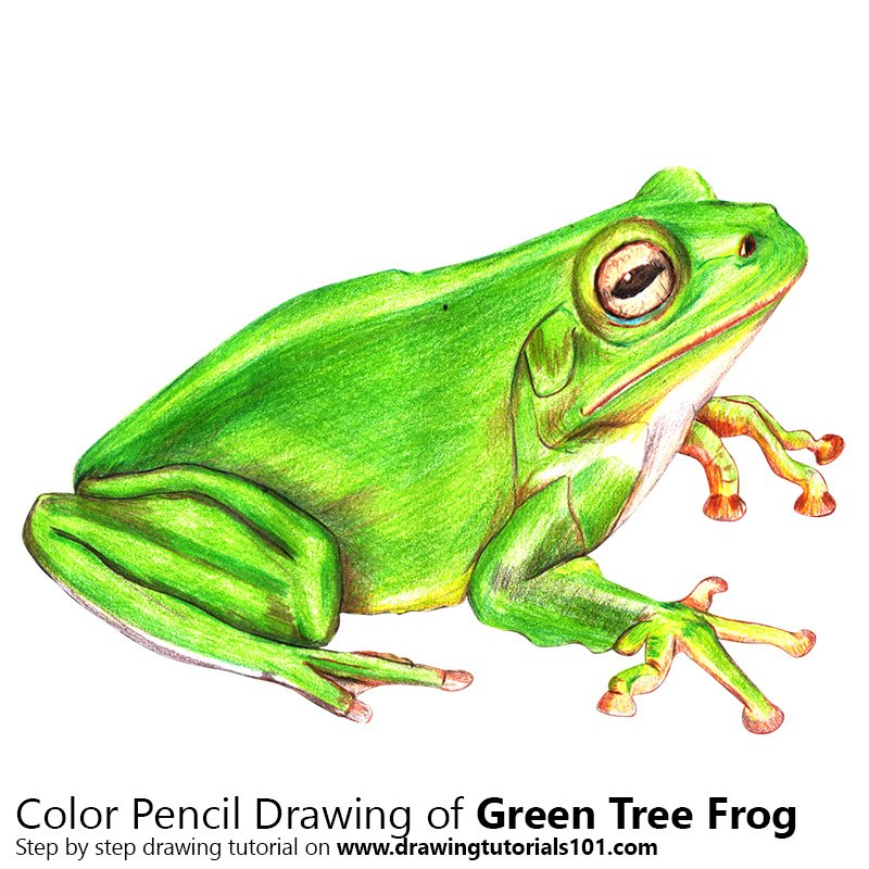 Green Tree Frog Color Pencil Drawing