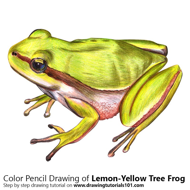 Lemon-Yellow Tree Frog Color Pencil Drawing