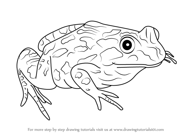 How To Draw A Spotted Marsh Frog