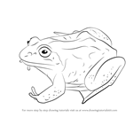 How to Draw a Wood Frog