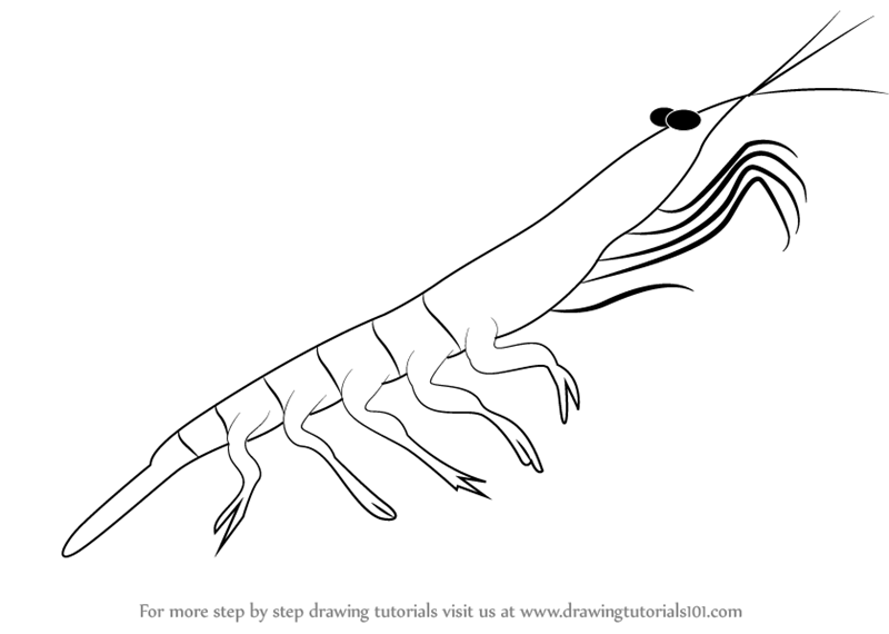 Learn How to Draw a Antarctic Krill