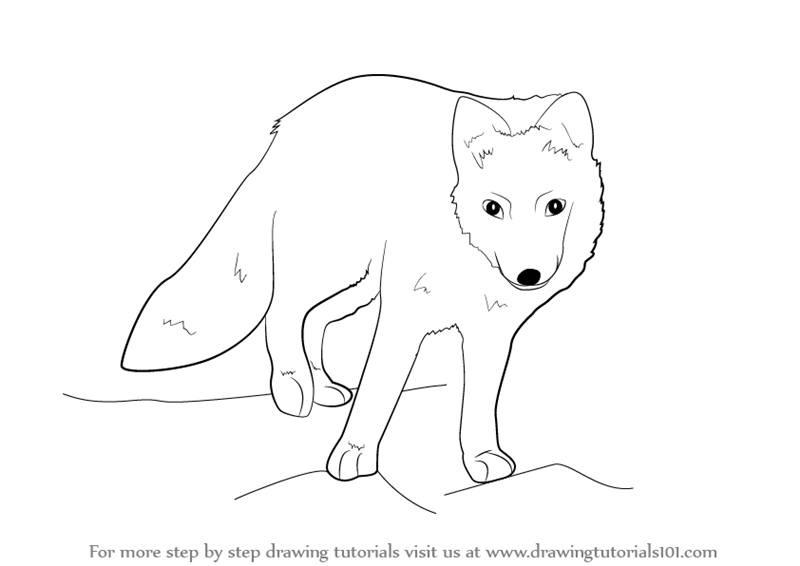 Learn how to draw a arctic fox antarctic animals step by step drawing tutorials