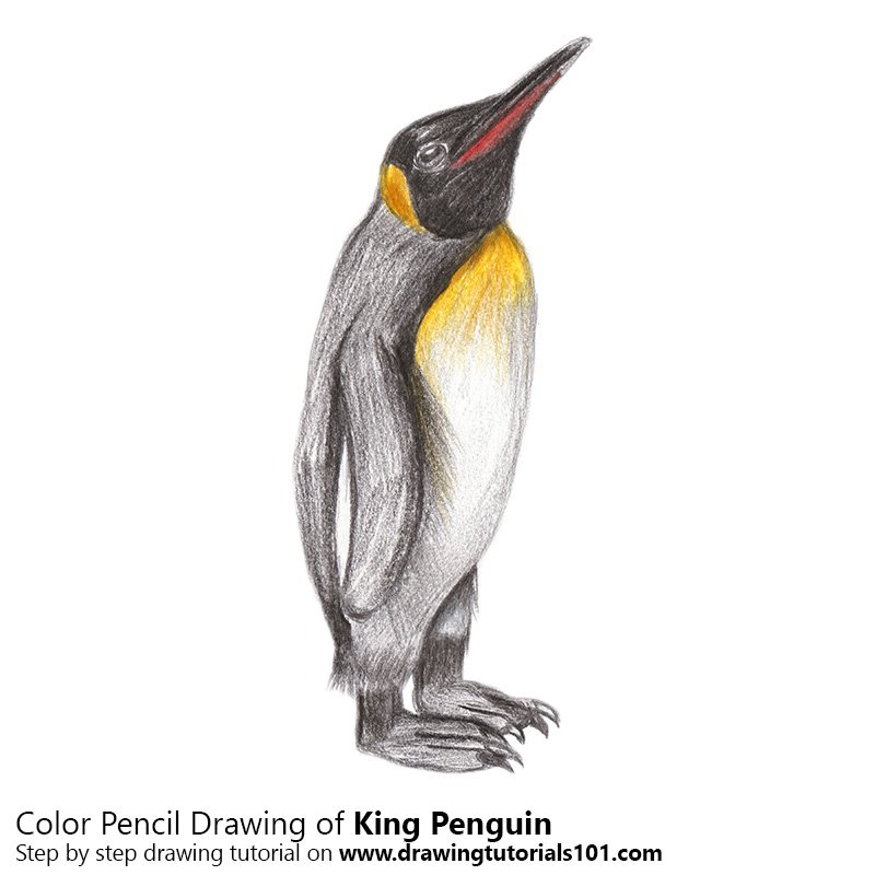 king penguin color pencil drawing - Penguin Pictures To Color