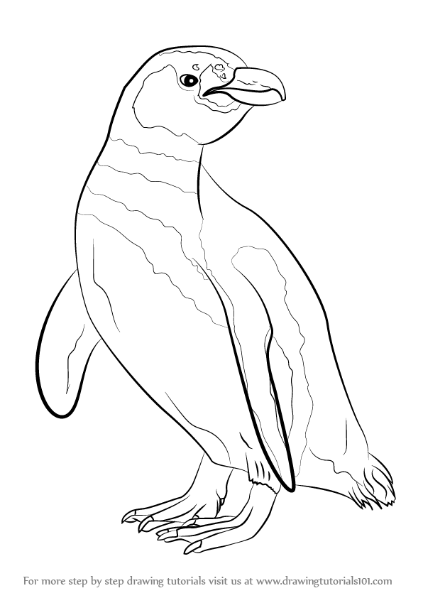 Learn How To Draw A Magellanic Penguin Antarctic Animals Step By Drawing Tutorials