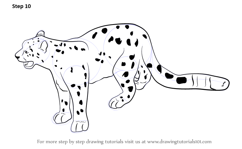 Step By Step How To Draw A Snow Leopard