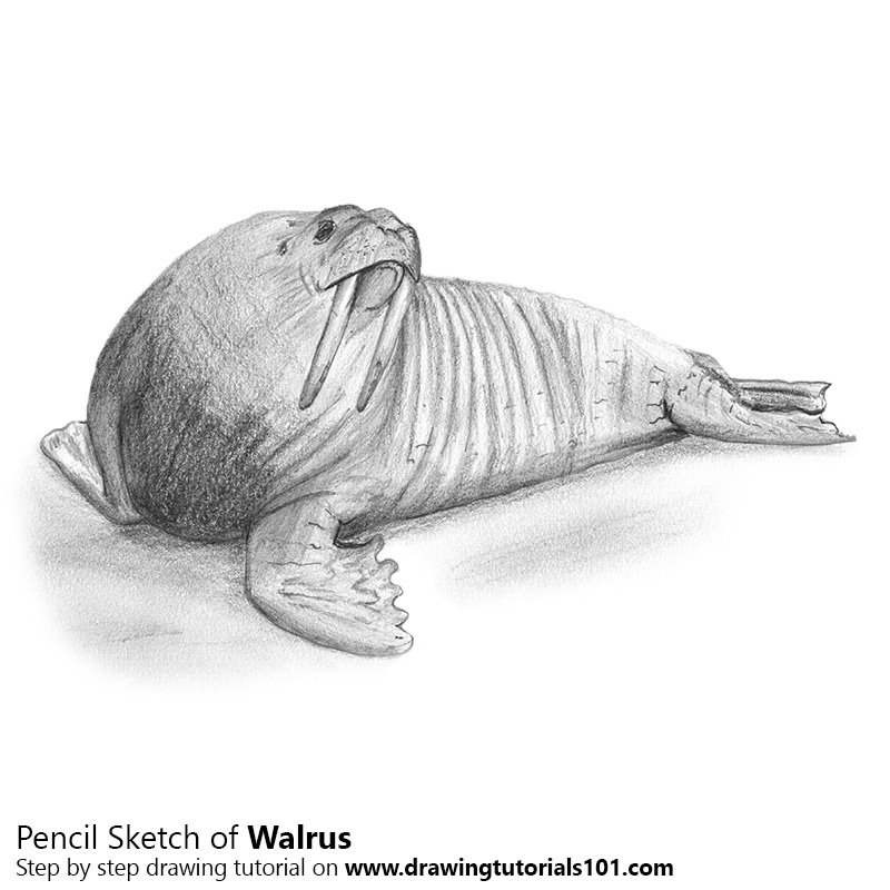 Walrus Pencil Drawing - How to Sketch Walrus using Pencils ...