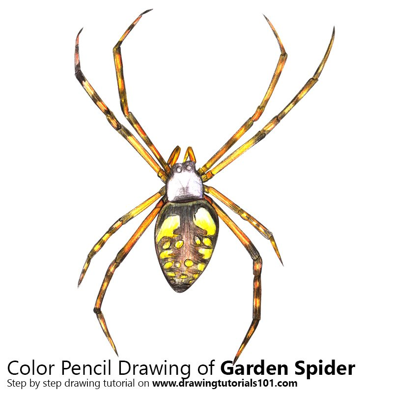 Garden Spider Color Pencil Drawing