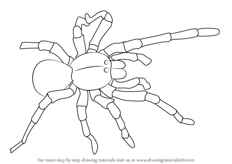 Step By Step How To Draw A Goliath Birdeater
