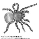 How to Draw a Goliath birdeater