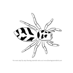 How to Draw a Zebra Spider