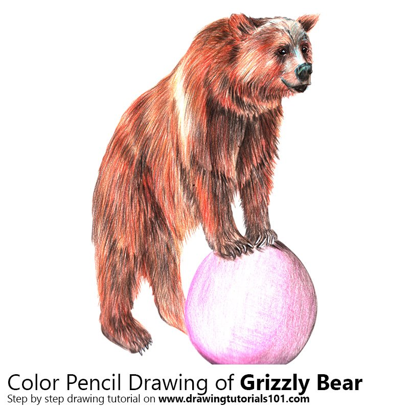 Grizzly Bear Drawing In Color Grizzly Bear Co...