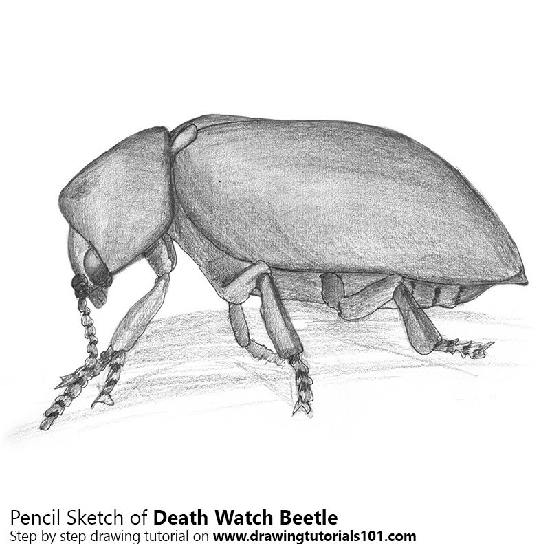 Pencil Sketch of Death Watch Beetle - Pencil Drawing