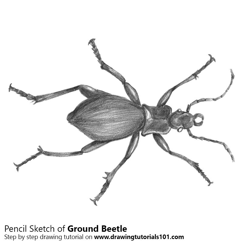 Pencil Sketch of Ground Beetle - Pencil Drawing