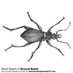 How to Draw a Ground Beetle