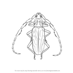 How to Draw a Longhorn Beetle