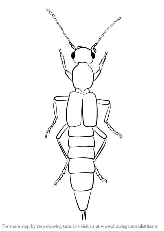 learn how to draw a rove beetle beetles step by step drawing