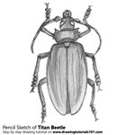 How to Draw a Titan Beetle