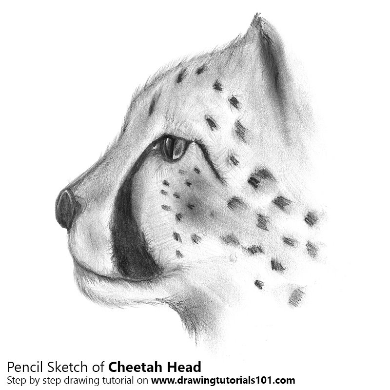 Cheetahs head pencil drawing how to sketch cheetahs head using pencils drawingtutorials101 com