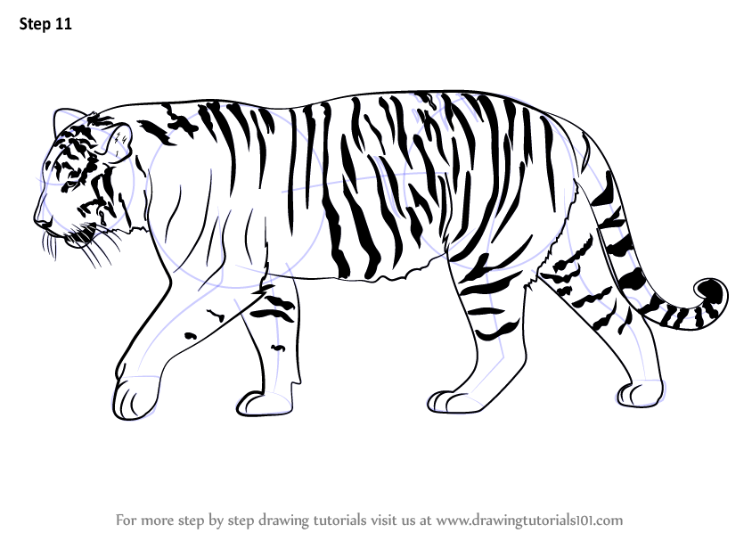 Learn how to draw a siberian tiger big cats step by step drawing tutorials