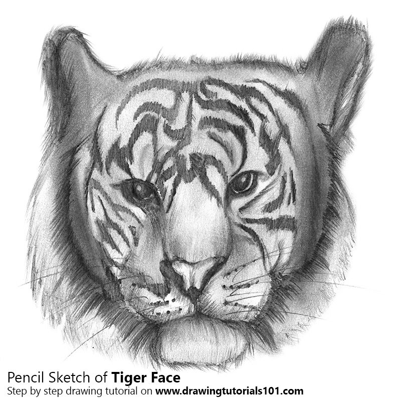 Tiger face pencil drawing how to sketch tiger face using pencils drawingtutorials101 com