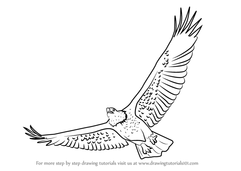 Learn how to draw a bald eagle flying bird of prey step by step drawing tutorials