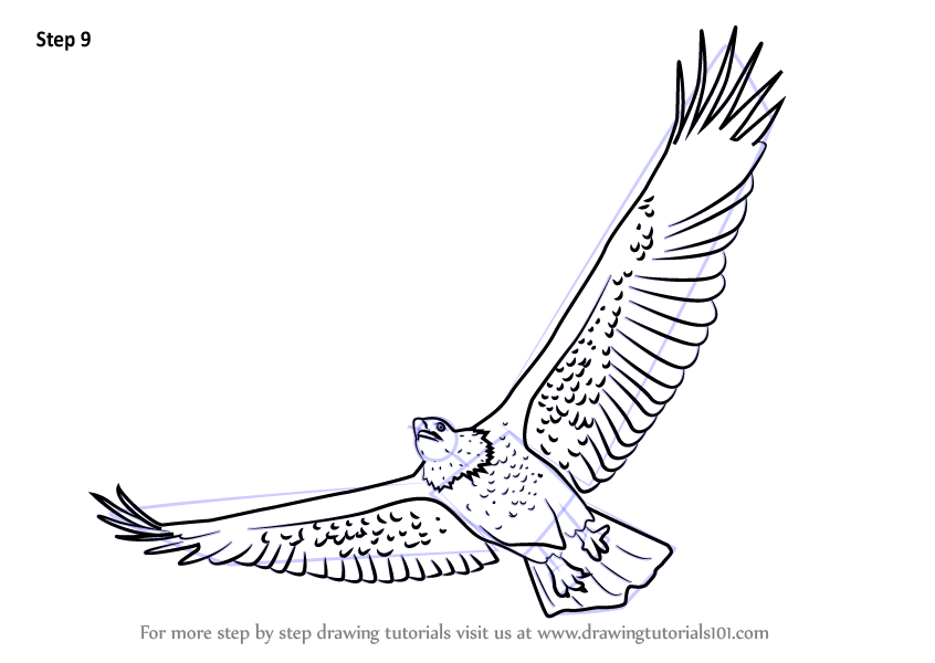 Learn How to Draw a Bald Eagle Flying Bird of prey Step