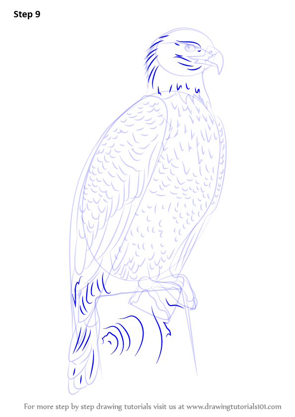 Learn How To Draw Bald Eagle Full Body (Bird Of Prey) Step By Step  Drawing Tutorials