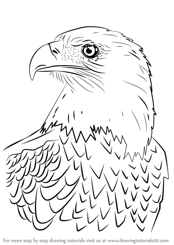 Learn how to draw bald eagle head bird of prey step by step drawing tutorials