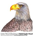 Bald Eagle Head Color Pencil Sketch