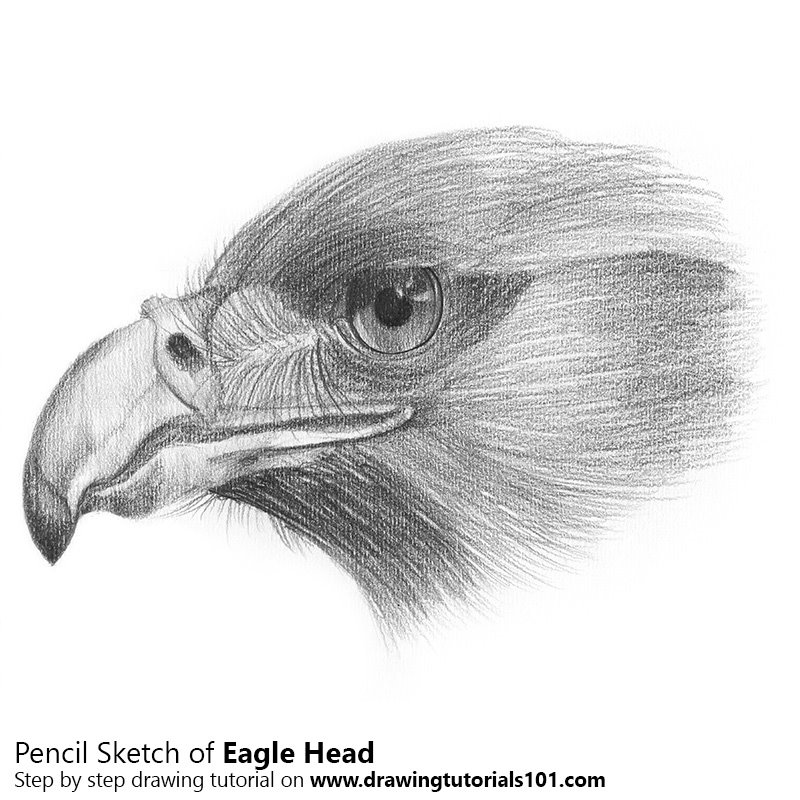 Eagle Head Pencil Drawing How To Sketch Eagle Head Using Pencils