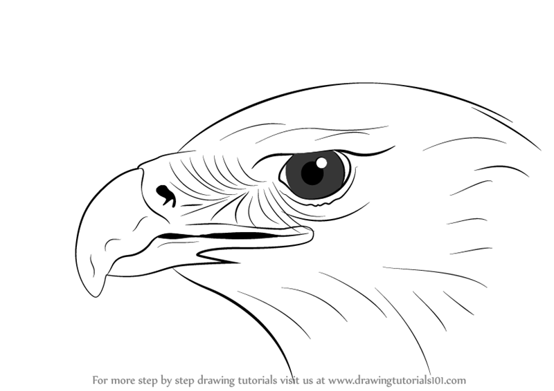 Learn how to draw an eagle head bird of prey step by step drawing tutorials