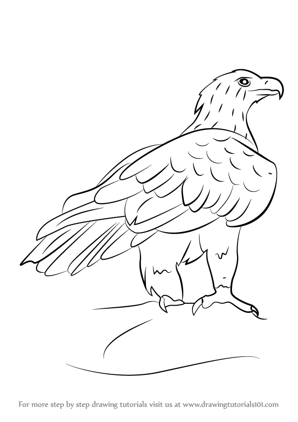 Learn how to draw a wedge tailed eagle bird of prey step by step drawing tutorials