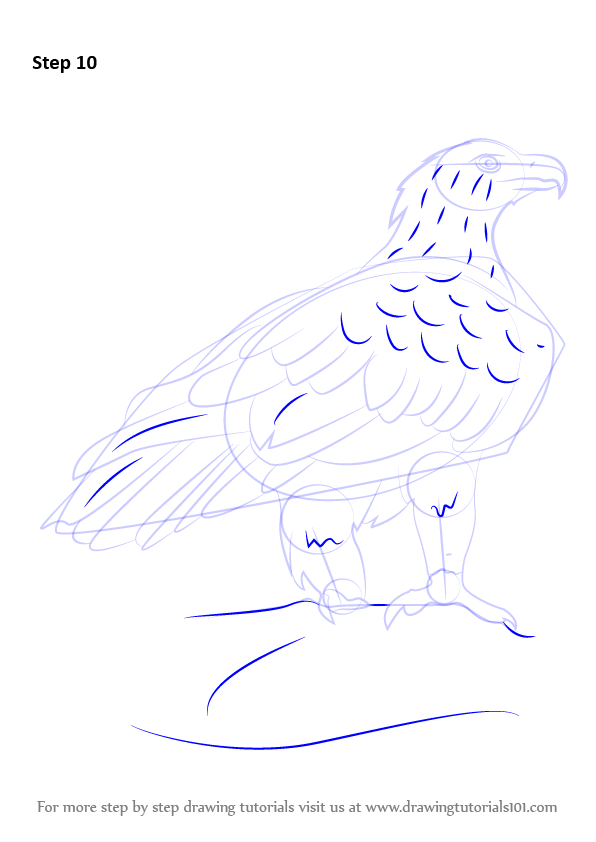 Learn How To Draw A Wedge-Tailed Eagle (Bird Of Prey) Step By Step  Drawing Tutorials