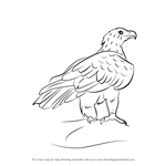 How to Draw a Wedge-Tailed Eagle