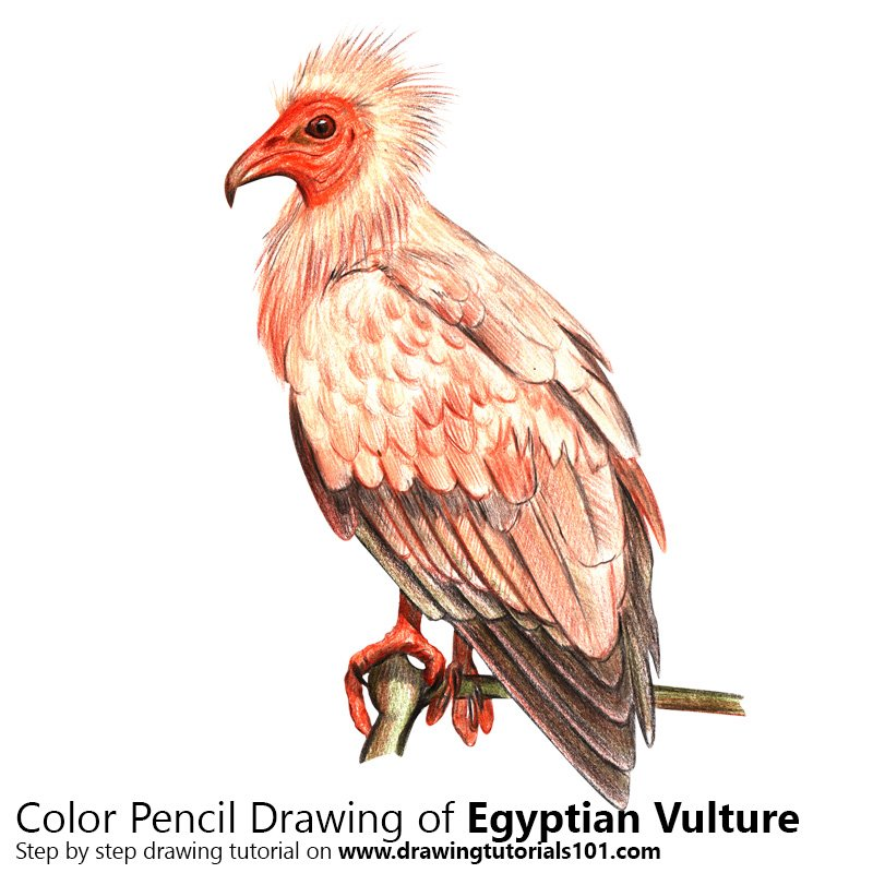 Egyptian Vulture Color Pencil Drawing
