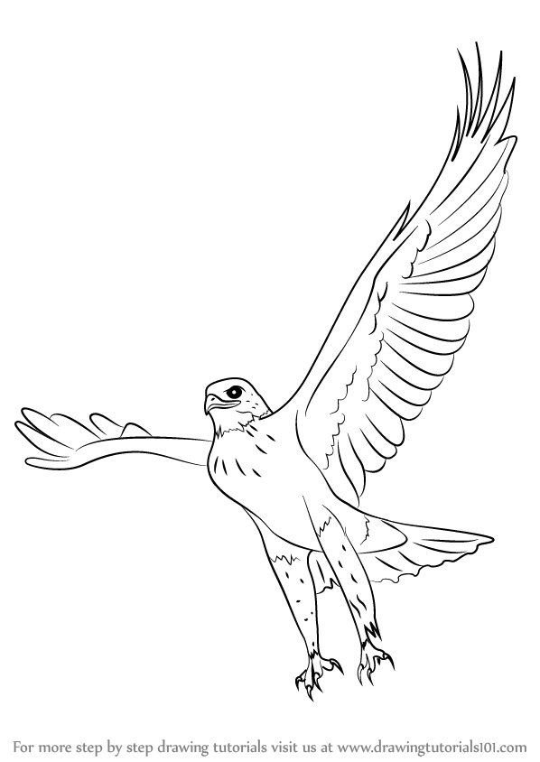 learn how to draw a ferruginous hawk bird of prey step by step drawing tutorials