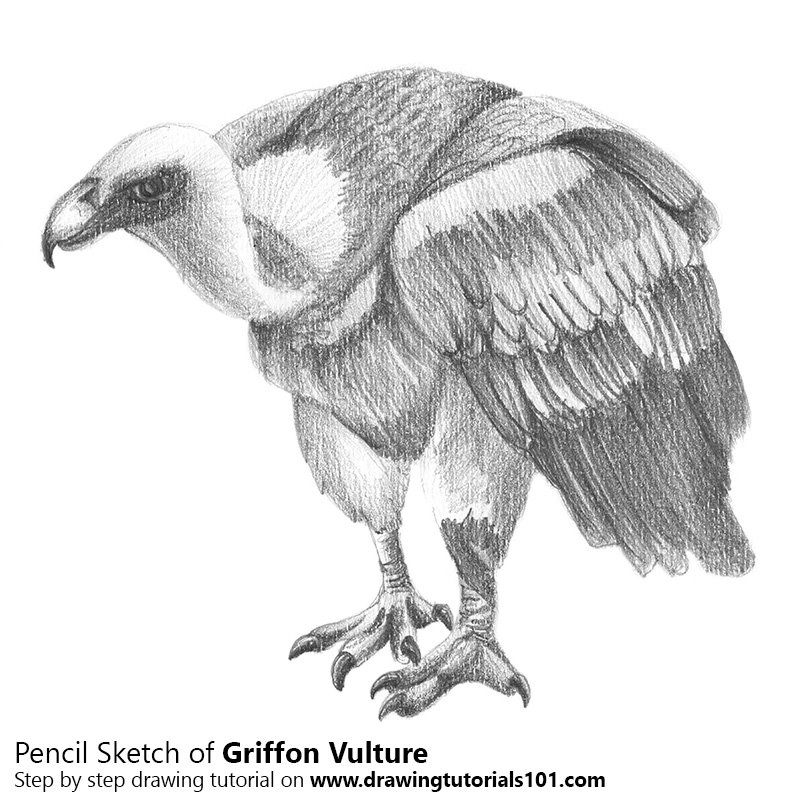 Griffon Vulture With Pencils Pencil Drawing - How To Sketch Griffon Vulture With Pencils Using ...