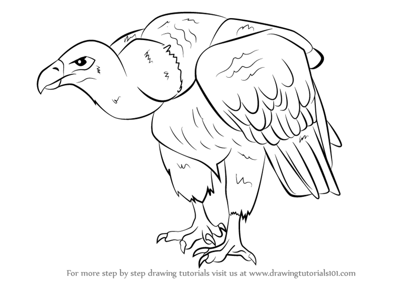 Step By Step How To Draw A Griffon Vulture