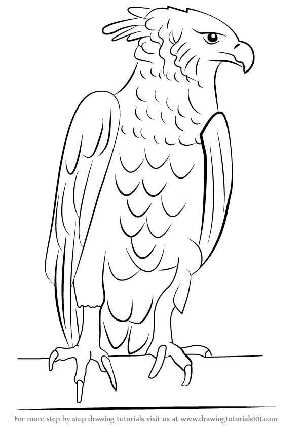 Learn how to draw a harpy eagle bird of prey step by step drawing tutorials