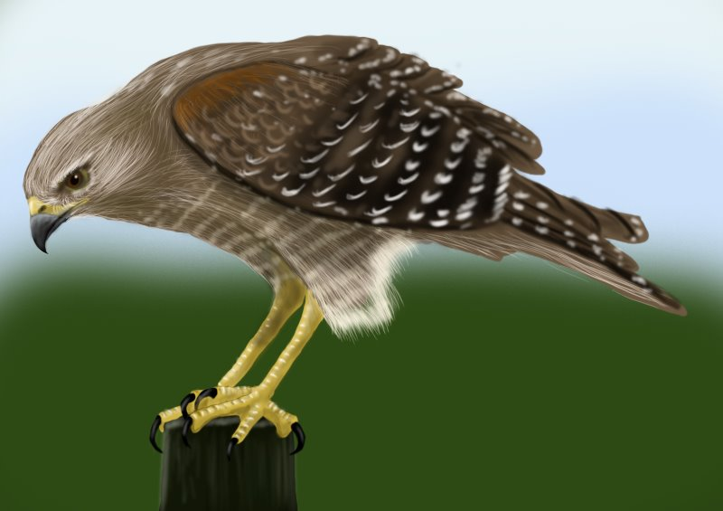Learn How to Draw a Hawk (Bird of prey) Step by Step : Drawing ...